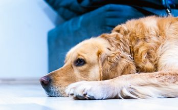 gliste kod pasa kako ih prepoznati simptomi