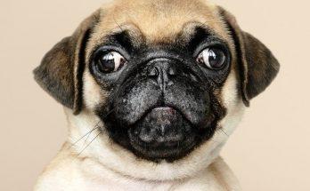 psi oči